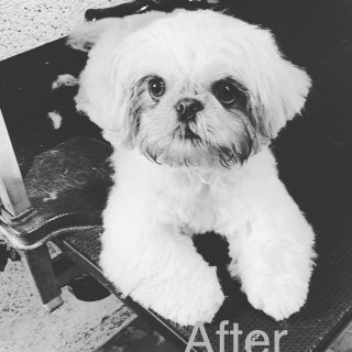 Bailey baby first big boy groom. Look at the before & after to see how cute a shorter cut can look on a puppy 😍🐶🐾✂️x #wahl #dog #doggrooming #lovedogs #emmipet